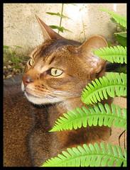 Izzy On Alert (Margaret Edge the bee girl) Tags: cat feline animal brown green leaves ferns eyes staring outdoors