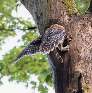 Daylight robbery. Tawny owl raid on woodpecker nest.