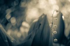 Bnw but not (Bilderwense) Tags: natur nature dof shallow depth depthoffield tiefenunschärfe tiefenschärfe outdoor nikkor nikon bokehrama bokeh smooth soft bokehlicious makro macro macrodreams macromonday schärfentiefe pflanze verschwommen blüte macromondays serene vignetting heiter plant plants plantparts blume frühling spring garten lilyofthevalley maiglöckchen 35mm d7000 35mmf18 bnw bw sw blackandwhite monochrome monochrom noiretblanc blancoynegro mono schwarzweis