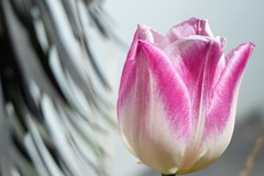 Tulip (evisdotter) Tags: tulip tulpan flower blomma macro bokeh sooc spring