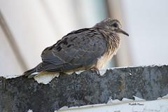 Mourning dove fledgling IMG_0022 (lamoustique) Tags: mourningdove zenaidamacroura tourterelletriste salmoncreek vancouver washington americanmourningdove