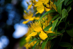flower (Yellow) (enebisu) Tags: 花 flower 黄色 接写 マクロ sony α7ii ilce7m2 a7ii laea4 tamron 190d 24135f3556