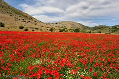 Amapolas-en-los-Alazores ( Granada) (Lucas Gutiérrez) Tags: amapolas rojo campodeamapolas