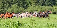 in the gallop (Eisgräfin (very busy)) Tags: horses gallop fun pferde herde galopp