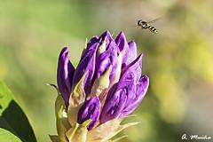 In flight inspection. En vuelo de inspección (A. Muiña) Tags: flor naturaleza nature rama insecto insect airelibre color bokeh desenfoque jardín garden planta macro nikon nikond800 macrofotografía animal animals