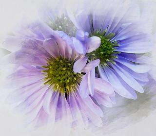 Lilac Daisies