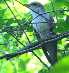Yellow-billed Cuckoo (fishhawk) Tags: hessfieldtrail danvillepa yellowbilledcuckoo coccyzusamericanus