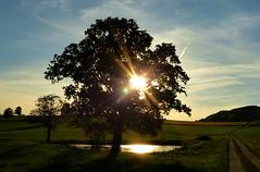 Die Sonne im Baum (isajachevalier) Tags: baum sonne sonnenuntergang landschaft sachsen panasonicdmcfz150