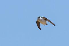 DSC_0388.jpg (ldjaffe) Tags: violetgreenswallow ucsantacruz greatmeadow