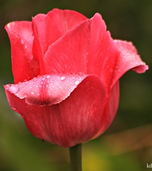 bead of tulip (Kens images) Tags: tulips pink water beads rain hobby canon kanata