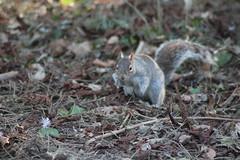 Squirrel (Paul Harrow Photography) Tags: harrowphotography paulharrow squirrel paul harrow photography paulharrowphotographyhotmailcom paulharrowsphotographystudio wwwpaulharrowphotographycouk stewarts park nature animals uk england great britain grey