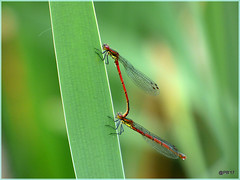 Large-Red Damselflies (postman.pete) Tags: wicked weasel hwcp lumix macro may spring tit world naturephotography bicycle 7dwf india blur shop dusk kodak airport wickedweasel largered damselflies