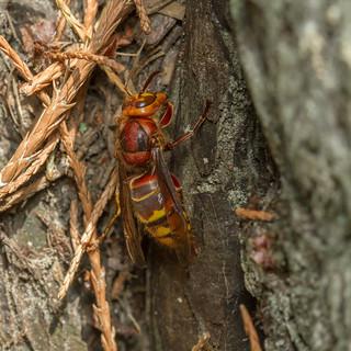 European Hornet (Vespa crabro) - queen