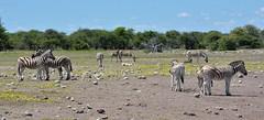 Burchell's Zebra with fresh sprouting yellow vegetation -  around an Etosha National Park waterhole in Namibia. (One more shot Rog) Tags: burchillszebra burchellszebra zebra zebras namibia namibianwildlife wildlife nature waterholes etosha etoshanationalpark safari africa onemoreshotrog rogersargentwildlifephotography stripes stripe