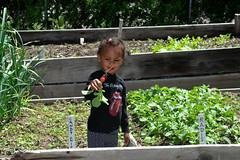 radish (greenelent) Tags: child garden radish plant nature brooklyn nyc communitygarden 365 photoaday