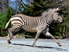 DSC_0275 (Sketchpoet) Tags: zebra mountainzebra zoo hartmannsmountainzebra louisvillezoo stripes
