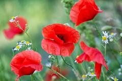 fiori di campo (mat56.) Tags: fiori flowers campo field papaveri papavero poppies poppy camomilla chamomile colori colors campagna sancolombanoallambro milano lombardia pianura padana antonio romei mat56 red rosso