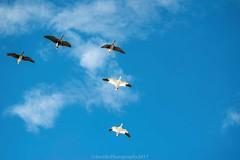AUR_8348s (savillent) Tags: geese snow specklebelly birds nature sky nikon telephoto lens 70200 tuktoyaktuk northwest territories canada wildlife outdoors blue spring may 2017