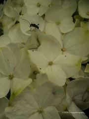 Clyne Gardens 2017 06 01 #12 (Gareth Lovering Photography 3,000,594 views.) Tags: clyne clyneinbloom botanical gardens flowers macro swansea olympus omdem10ii 30mm 30mmmacro garethloveringphotography