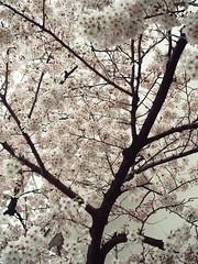 Springtime Scenes: Sakura (Jon-Fū, the写真machine) Tags: jonfu 2017 olympus omd em5markii em5ii em5mkii em5mk2 em5mark2 オリンパス mirrorless mirrorlesscamera microfourthirds micro43 m43 mft μft マイクロフォーサーズ ミラーレスカメラ snapseed japan 日本 nihon nippon ジャパン ジパング japón जापान japão xapón asia アジア asian orient oriental aichi 愛知 愛知県 chubu chuubu 中部 中部地方 nagoya 名古屋 tree nature trees 自然 plant 木 plants 木々 植物 flora flower flowers 花 華 sakura cherryblossoms cherryblossom さくら 桜 hanami 花見