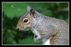 IMG_0051 Grey Squirrel (Scotchjohnnie) Tags: greysquirrel squirrel squirrelphotography sciurusvulgaris wildlife nature naturewildlifeandbirds northeastengland wildanimal wildandfree canon canoneos canon7dmkii canonef100400f4556lisiiusm scotchjohnnie portrait closeup