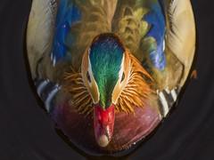 Colour (mond.raymond1904) Tags: mandarin duck dublin dodder colour
