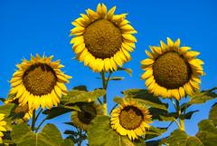 Sunflower Family Portrait (photographyguy) Tags: sky louisiana northlouisiana yellow bluesky gilliamlouisiana yellowandblue