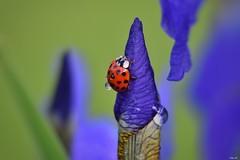 Aiming high! (Nina_Ali) Tags: ladybird ladybug red spots vibrant 2017 leicestershire nikond5500 waterdroplets wet ninaali