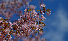 Cherry blossoms. Spring in Finland. 20.5.2017 (L.Lahtinen (nature photography) off for a while) Tags: spring finland cherryblossoms cherry flowers nikond3200 nikkor55300mm hanami kirsikkapuu suomi kevät nature luonto japanese bluesky naturephotography nikkor