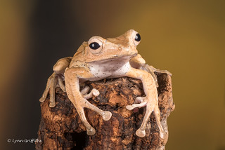 Borneo Eared Frog - Hold on tight D75_7204.jpg
