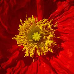 Mak.  Poppy. (cbrozek21) Tags: poppy flower orangepoppy color style stamen filament flowerstructure gardenflower macro flickrunitedaward pentaxart 7dwf closeup