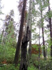 Survivor (diffuse) Tags: tree burned damaged surviving msh0617 msh06172