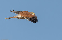 A passing glance... (Mykel46) Tags: talia southaustralia australia au nankeen kestrel falco cenchroides falconidae bif birds nature wildlife flight flying canon outside outdoors