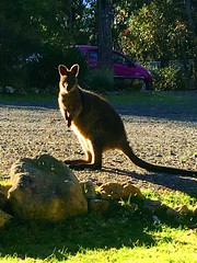 the Resident Wallaby