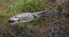 Big Gator Reflection (Zack Mensinger) Tags: 2016 canon40d southernunitedstates unitedstates history mississippi gulfislandsnationalseashore alligator