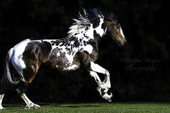 Peggy (Christina Draper) Tags: cob gallop instahorse christinadraperphotography equinephotography equine pferd skewbald horse