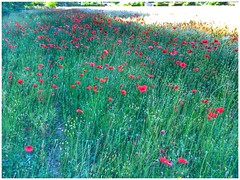 """Mohn • <a style=""""font-size:0.8em;"""" href=""""http://www.flickr.com/photos/7196089@N03/35043659600/"""" target=""""_blank"""">View on Flickr</a>"""