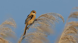Young Bearded Reedling Junge Bartmeise
