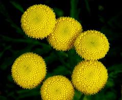 Tanacetum vulgare [Asteraceae] Common Tansy (robinb44) Tags: tanacetumvulgare asteraceae commontansy buttertubsmarsh nanaimo bc vancouverisland yellowflowers