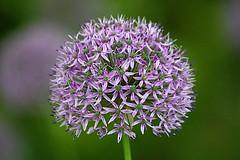 Purple flower (georgehart64) Tags: flower flora canon70d aberdeen aberdeenshire johnstongardens ef100400mm f4556l is ii usm canon 70d purple