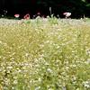 Flower garden (mitsumine_884) Tags: rolleiflex35fplanar rollei rolleiflex planar fuji pro400h