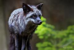 Silberfuchs No. 3033.jpg (Knipser31405) Tags: frühjahr 2017 fauna silberfuchs wismar tierpark