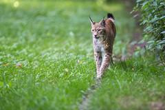 Pure Grace (The Wasp Factory) Tags: eurasianlynx lynx eurasischerluchs nordluchs luchs lynxlynx tierparksababurg tierpark sababurg wildpark wildlifepark
