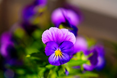 Viola : ビオラ (Dakiny) Tags: 2017 spring june japan kanagawa yokohama aoba ichigao outdoor nature field park plant flower flora pansy viola macro bokeh nikon d750 nikkor 50mm f18 afsnikkor50mmf18g nikonafsnikkor50mmf18g nikonclubit