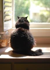 All Ball (rootcrop54) Tags: allball koko batman male tuxedo cat kitchen counter round longhair neko macska kedi 猫 kočka kissa γάτα köttur kucing gatto 고양이 kaķis katė katt katzen kot кошка mačka maček kitteh chat ネコ language cc1000 cc4000