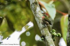 Macheropterus regulus - Saltarín Rayado - Striped Manakin (PELORD) Tags: macheropterus regulus saltarín rayado striped manakin segovia antioquia colombia birds