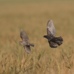 rwbl-sy-f-sy-m-easterncimarronco-6-10-17-tl-02-cropscreen (pomarinejaeger) Tags: keyes oklahoma unitedstates bird redwingedblackbird agelaiusphoeniceus