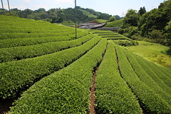 Green tea fields (Teruhide Tomori) Tags: teafield kyoto japan wazuka japanesetea green leaves mountain hill landscape traditional field japon 日本茶 京都 茶畑 緑 日本 和束町 茶葉 風景 緑茶 greentea uji 宇治茶