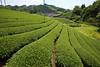 Green tea fields (Teruhide Tomori) Tags: teafield kyoto japan wazuka japanesetea green leaves mountain hill landscape traditional field japon 日本茶 京都 茶畑 緑 日本 和束町 茶葉 風景 緑茶 greentea uji 宇治茶
