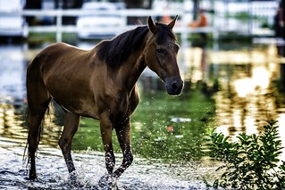 horse splashing in flood waters
